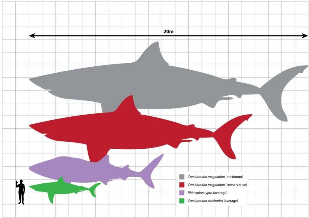 megalodon squalo bianco dente