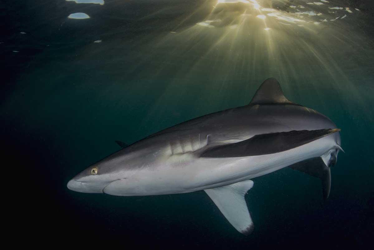 Esemplare di Squalo Seta - Silky Shark